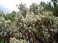 Erica arborea 1 (Picos).JPG