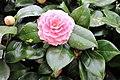 Ericales - Camellia cultivars - 4.jpg