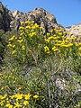 Ericameria linearifolia 10.jpg