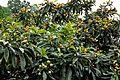 Eriobotrya japonica Japanese Medlar Loquat მუშმულა.JPG