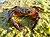 Eriphia verrucosa male 2009 G5.jpg