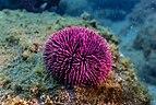 Erizo de mar violáceo (Sphaerechinus granularis), Madeira, Portugal, 2019-05-31, DD 40.jpg