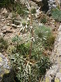 Eryngium bourgatii 01.jpg