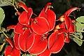 Erythrina crista-galli 5Dsr 4962.jpg