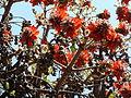 Erythrina latissima, blomme en peule, c, Pretoria.jpg