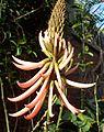 Erythrina speciosa var rosea kz2.JPG