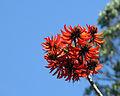 Erythrina stricta flower 1.jpg