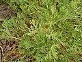 Eschscholzia californica (El Paso) 07.jpg