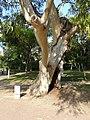 Eucaliptus - arbre d'interès local - parc de Vil·la Amèlia P1280085.jpg