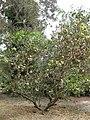 Eucalyptus grossa habit.jpg