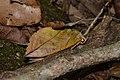 Eudocima sikhimensis (28642301383).jpg
