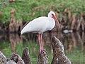 Eudocimus albus 108650906.jpg