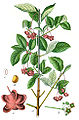 Euonymus latifolius Sturm21.jpg