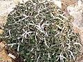 Euphorbia capsaintemariensis.JPG