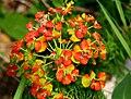 Euphorbia cyparissias ENBLA04.jpeg