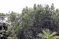 Euphorbia tirucalli 0zz.jpg