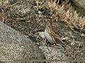 Eurasian Skylark (Alauda arvensis) (25200400283).jpg