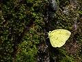 Eurema blanda at Nayikayam Thattu.jpg