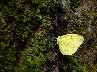 Eurema blanda - In Kerala, India