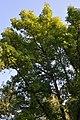 European Ash (Fraxinus excelsior) - Oslo, Norway 2020-09-19.jpg