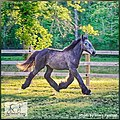 European Belgian Draft Horse Stud Colt LowCountry Acres Earl 02.jpg