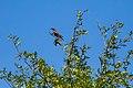 European starling (29087905981).jpg