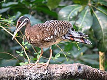 Eurypyga helias -Smithsonian National Zoological Park, USA-8.jpg