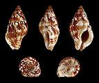 Euthria cornea 01.JPG