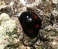 Exochomus quadripustulatus (Pine Ladybird) - Flickr - S. Rae.jpg