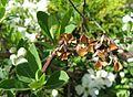 Exochorda racemosa 1.jpg