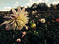 Fall flowerings (15371252590).jpg