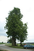 Famous tree Group of Tilia Cordata near Vantiberk, Červená Lhota, Třebíč District.JPG