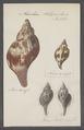 Fasciolaria tulipa - - Print - Iconographia Zoologica - Special Collections University of Amsterdam - UBAINV0274 084 03 0003.tif