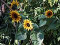 Feeringbury Manor - Helianthus sunflower, Feering Essex England.jpg
