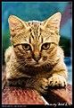 Felis silvestris catus (4981062523).jpg