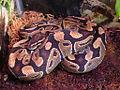 Female Ball python (Python regius).jpg