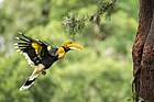 Female Great Hornbill carrying food.jpg
