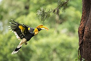 Great hornbill - A female great hornbill carries food in her beak to feed the chicks.