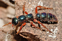 Female blue ant05.jpg