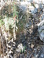 Ferocactus histrix (5777230920).jpg