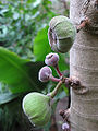 Ficus roxburghii (Botanischer Garten TU Darmstadt) fruits.jpg