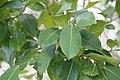 Ficus tinctoria 3zz.jpg