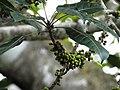 Ficus virens Manamboli power house DSCN0220.JPG