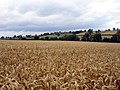 Field of wheat at Hoar Park Farm - geograph.org.uk - 210863.jpg