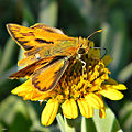 Fiery Skipper (Hylephila phyleus) (8707030694).jpg