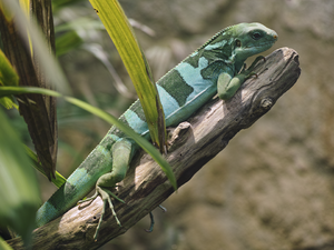 Fiji banded iguana in Vienna Zoo on 2013-05-12.png