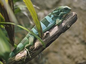 Fiji banded iguana - Fiji banded iguana (male) in captivity