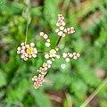 Filipendula vulgaris in Causse Comtal (3).jpg