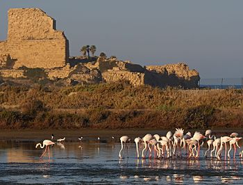 Flamingo in front of Atlit fortress.jpg