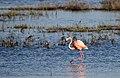Flamingo walking (40463793802).jpg